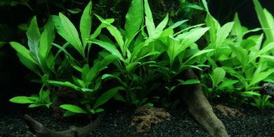 Hygrophila Siamensis 53B