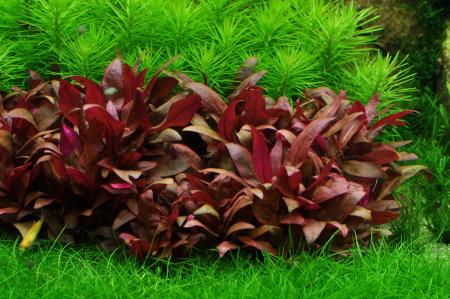 Alternanthera Reineckii (Pink)