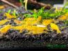 Yellow Neocaridina Ornamental Shrimp