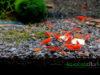 Painted Fire Red Neocaridina Shrimp