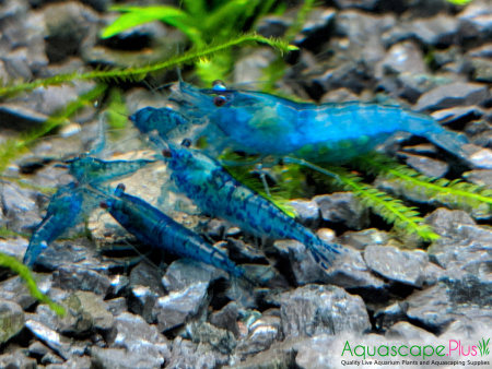 Blue Neocaridina Shrimp